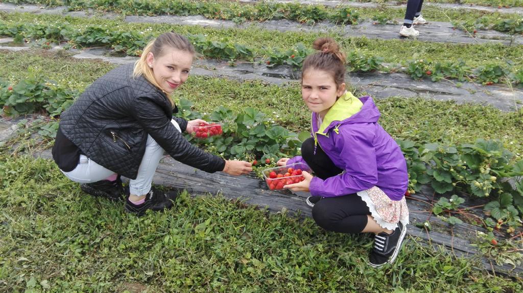 Cueillette et tartes aux fraises été 2017 (5)
