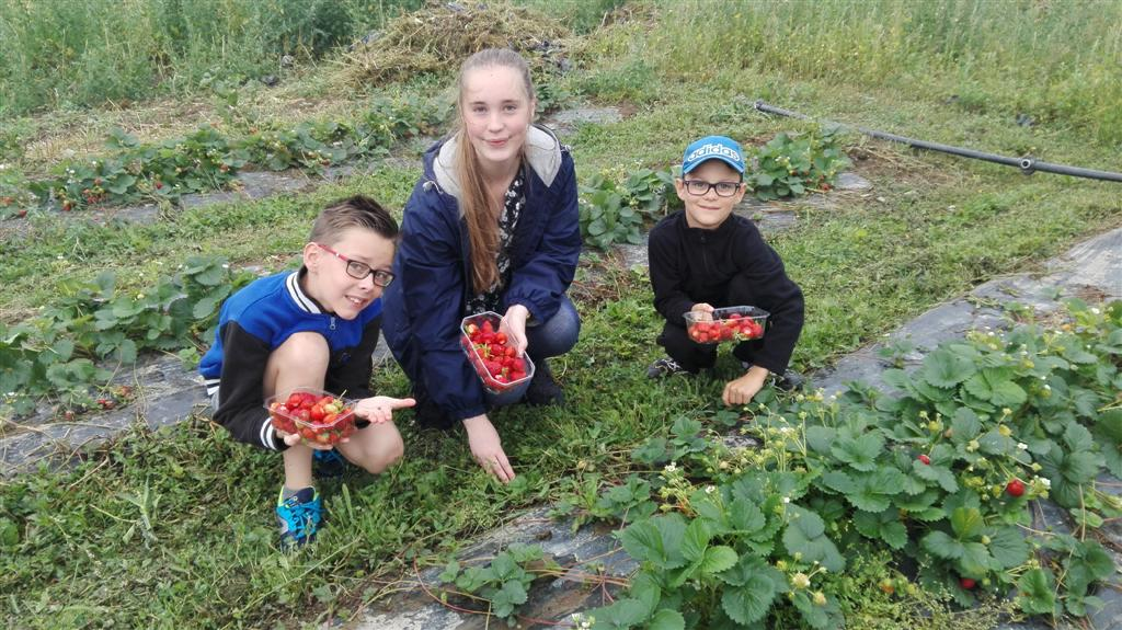 Cueillette et tartes aux fraises été 2017 (6)